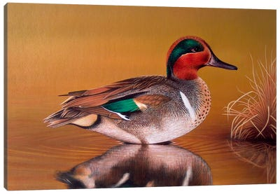 Green Winged Teal Canvas Art Print