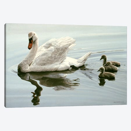 Mute Swan & Three Cygnets Canvas Print #9849} by Ron Parker Canvas Print