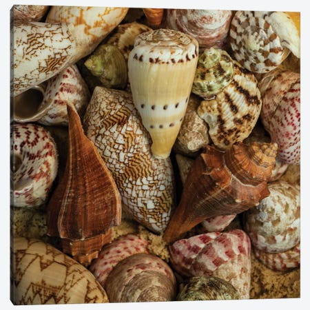 Mini Conch Shells I Canvas Print #AAS40} by Andy Amos Art Print