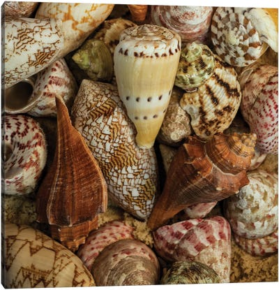 Mini Conch Shells I Canvas Art Print