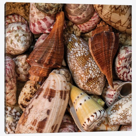 Mini Conch Shells II Canvas Print #AAS41} by Andy Amos Art Print