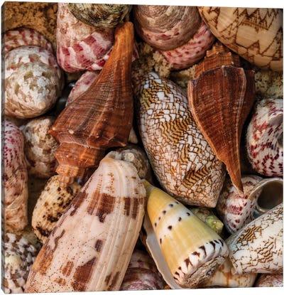 Mini Conch Shells II Canvas Art Print