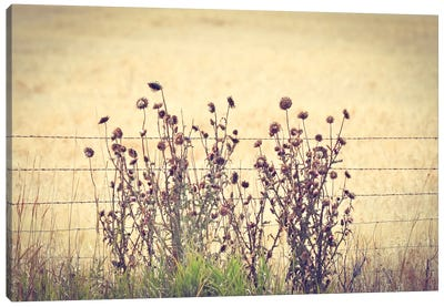 Barbed Wire Thistles Canvas Art Print