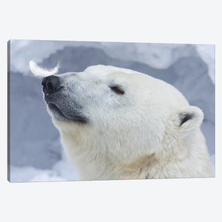 Polar Bear Portrait I Canvas Print #ABE5} by Anton Belovodchenko Canvas Art