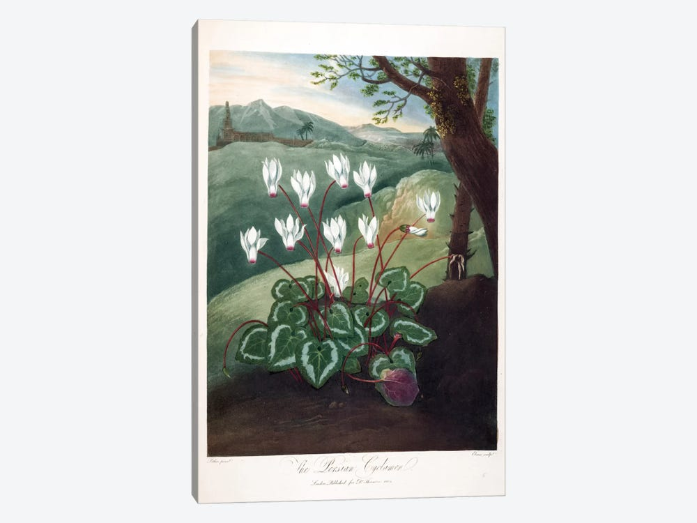The Persian Cyclamen by Abraham Pether 1-piece Canvas Art Print