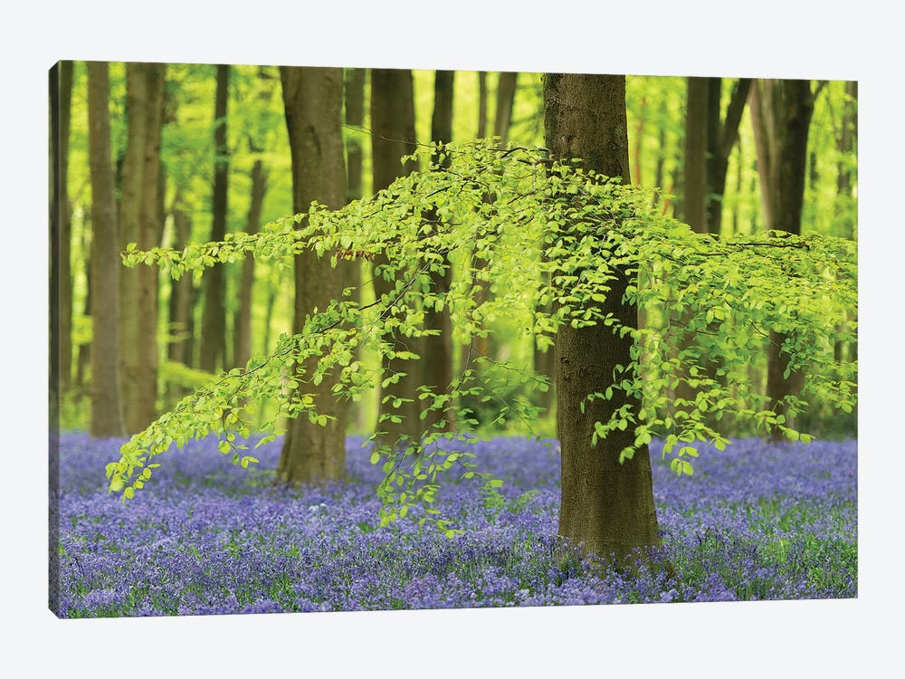 Bluebell Forest by Adam Burton 1-piece Canvas Art Print