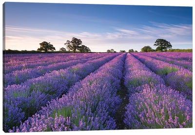 Lavender Field Canvas Art Print