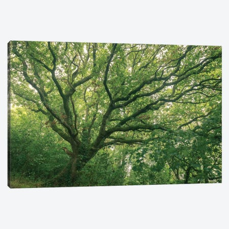 Oak Forest Canvas Print #ABU145} by Adam Burton Canvas Print