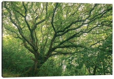 Oak Forest Canvas Art Print
