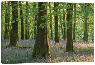 Exmoor Bluebells Canvas Art Print