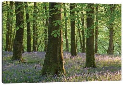 Exmoor Bluebells Canvas Print #ABU15