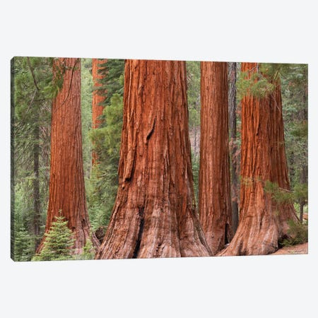 Mariposa Grove Canvas Print #ABU27} by Adam Burton Canvas Artwork