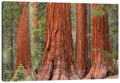Mariposa Grove Canvas Art Print