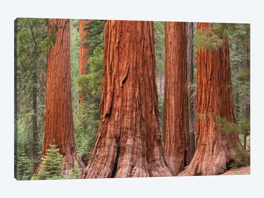 Mariposa Grove by Adam Burton 1-piece Canvas Artwork