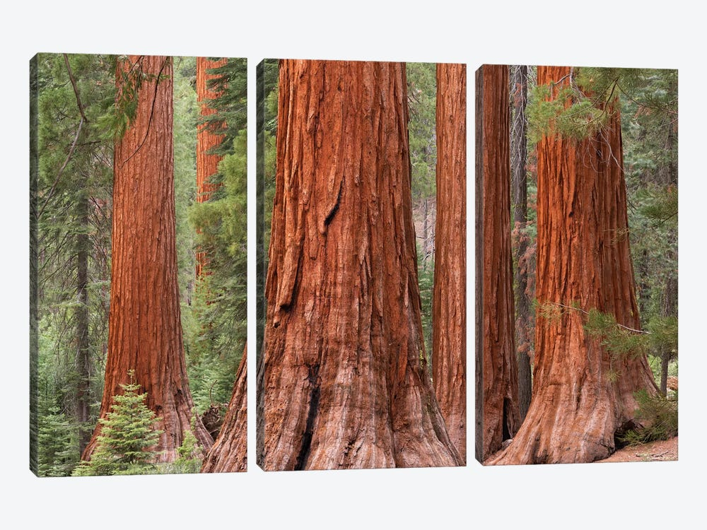 Mariposa Grove by Adam Burton 3-piece Canvas Art