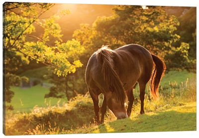 The Exmoor Pony Canvas Art Print