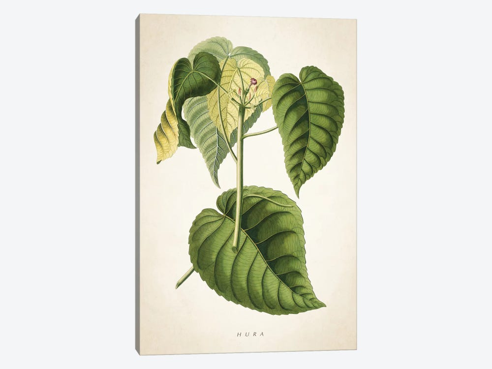 Hura Botanical Print by Aged Pixel 1-piece Canvas Wall Art