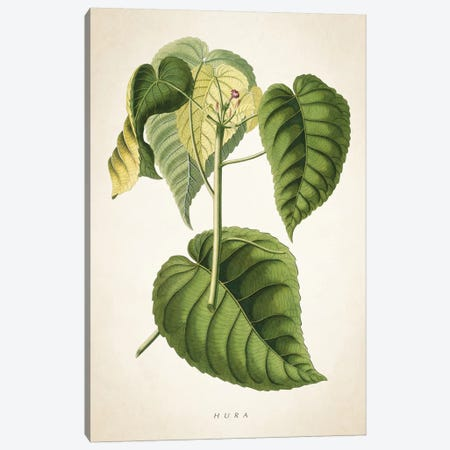 Hura Botanical Print Canvas Print #ADP2959} by Aged Pixel Canvas Art