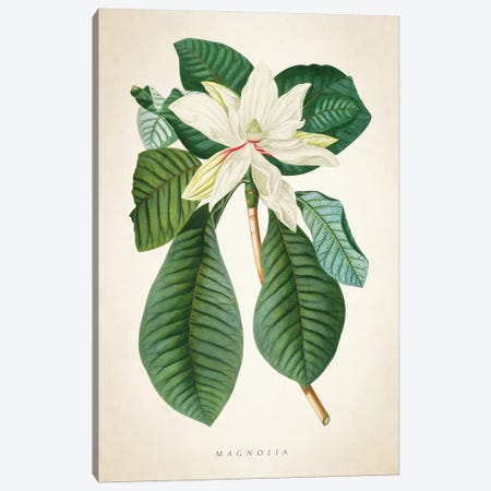 Magnolia Botanical Print II Canvas Print #ADP3039} by Aged Pixel Canvas Wall Art