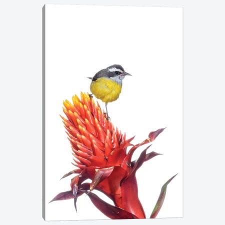 Bananaquit On Flower, Argentina Canvas Print #AES1} by Agustin Esmoris Canvas Print