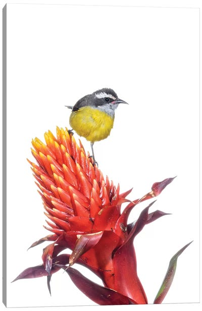 Bananaquit On Flower, Argentina Canvas Art Print