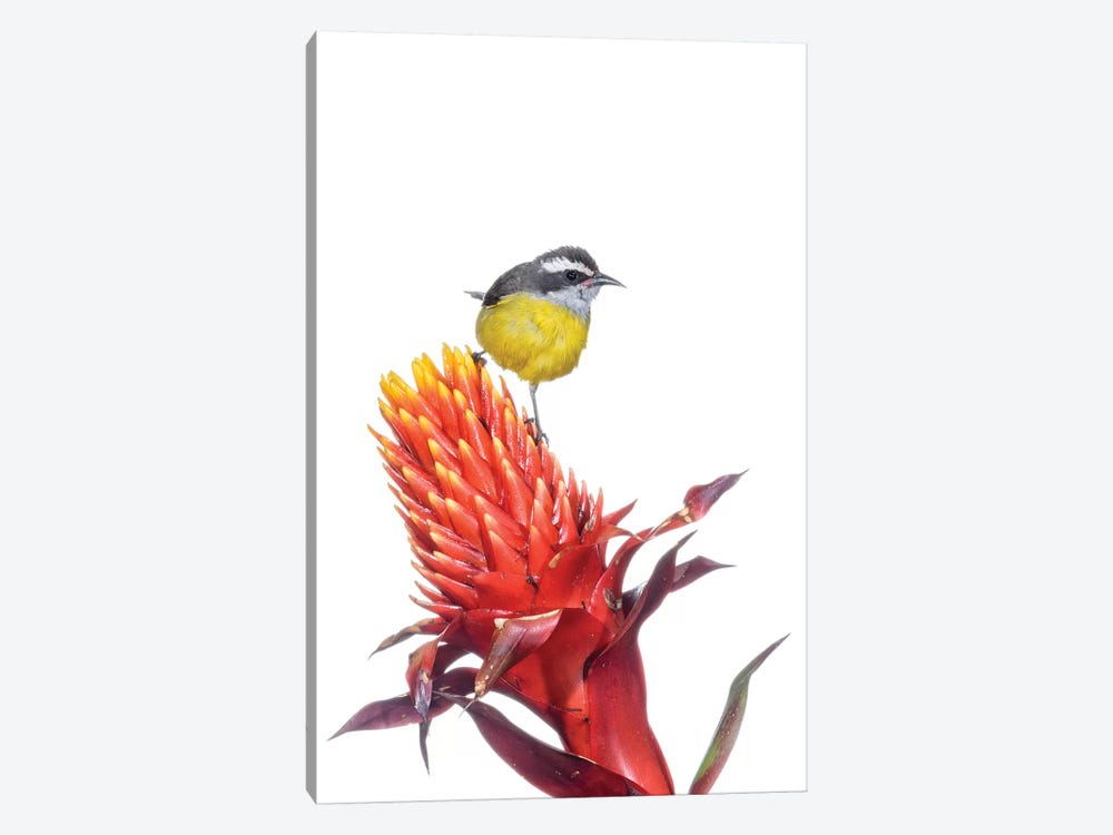 Bananaquit On Flower, Argentina by Agustin Esmoris 1-piece Art Print