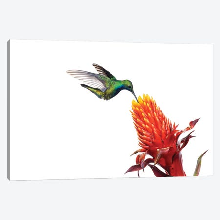 Black-Throated Mango Hummingbird Feeding On Flower Nectar, Argentina Canvas Print #AES2} by Agustin Esmoris Canvas Print