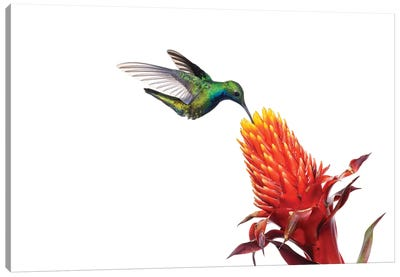 Black-Throated Mango Hummingbird Feeding On Flower Nectar, Argentina Canvas Art Print