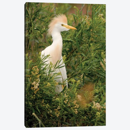 Cattle Egret, Argentina Canvas Print #AES3} by Agustin Esmoris Canvas Print