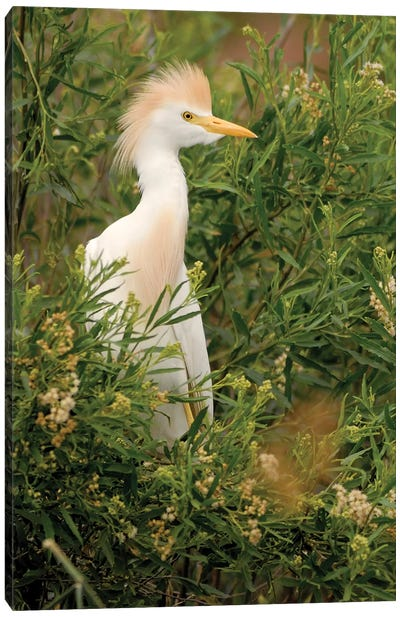 Cattle Egret, Argentina Canvas Art Print