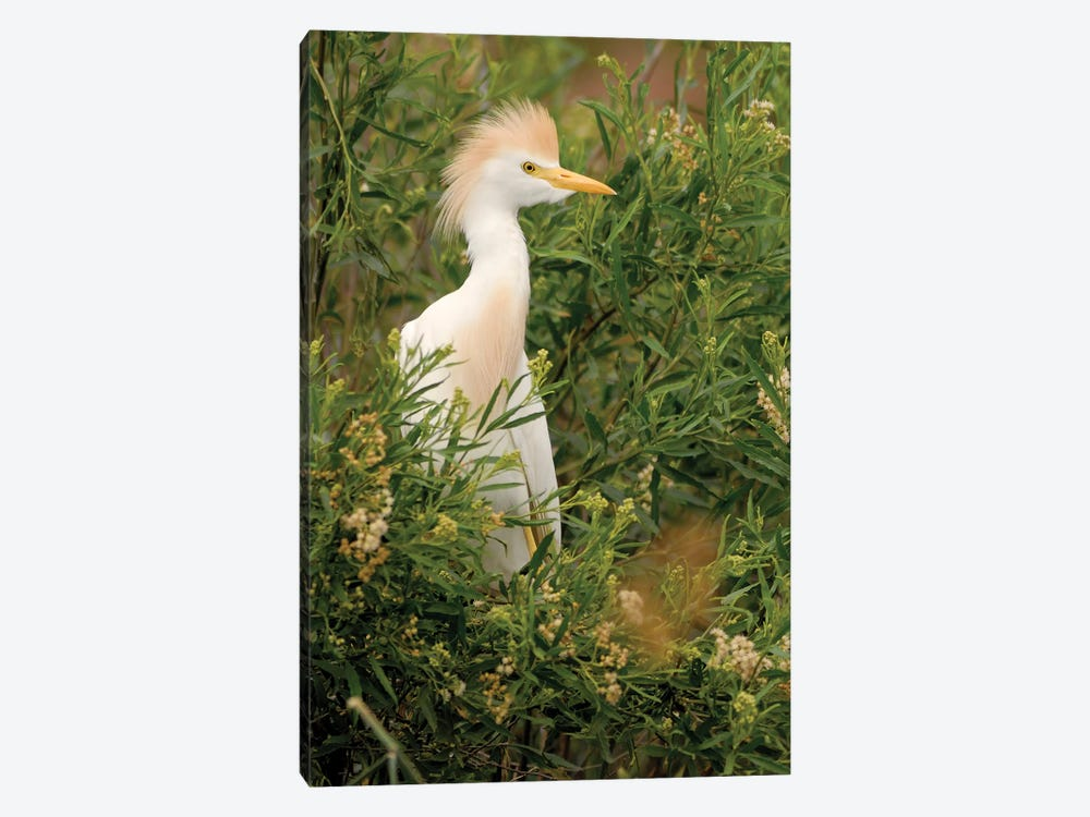 Cattle Egret, Argentina by Agustin Esmoris 1-piece Art Print