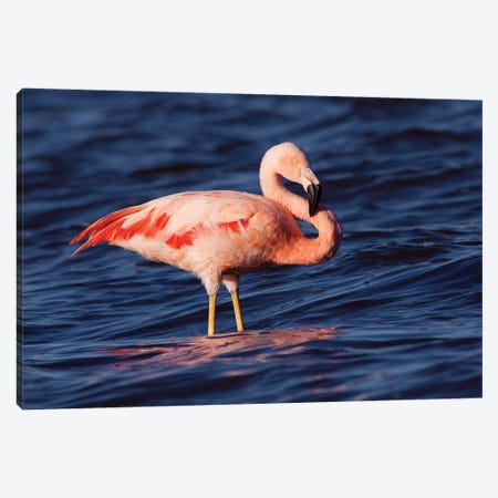 Chilean Flamingo, Pedro Luro, Argentina Canvas Print #AES4} by Agustin Esmoris Canvas Artwork