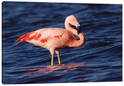 Chilean Flamingo, Pedro Luro, Argentina Canvas Art Print
