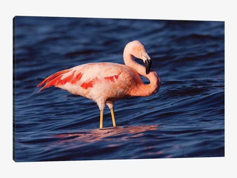 Chilean Flamingo, Pedro Luro, Argentina 1-piece Canvas Wall Art