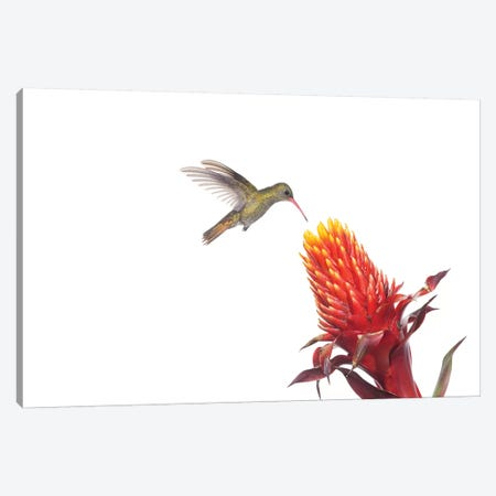 Gilded Hummingbird Feeding On Flower Nectar, Argentina Canvas Print #AES5} by Agustin Esmoris Canvas Wall Art