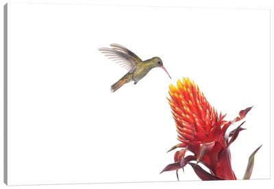 Gilded Hummingbird Feeding On Flower Nectar, Argentina Canvas Art Print