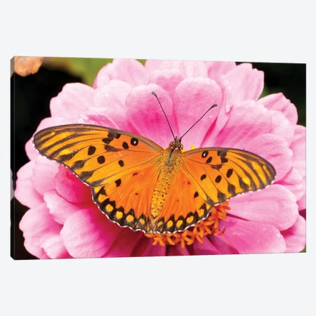Gulf Fritillary Butterfly On Zinnia Flower, Bahia Blanca, Argentina Canvas Print #AES6} by Agustin Esmoris Canvas Wall Art