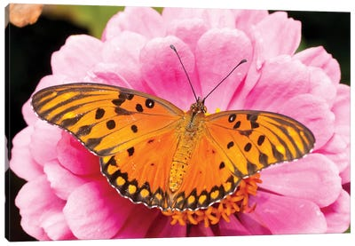 Gulf Fritillary Butterfly On Zinnia Flower, Bahia Blanca, Argentina Canvas Art Print