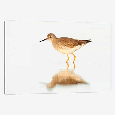 Lesser Yellowlegs, Argentina Canvas Print #AES7} by Agustin Esmoris Canvas Art