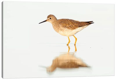 Lesser Yellowlegs, Argentina Canvas Art Print