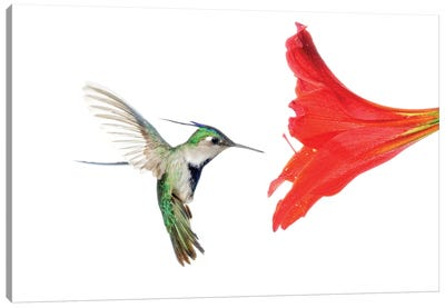 Plovercrest Hummingbird Feeding On Flower Nectar, Argentina Canvas Art Print