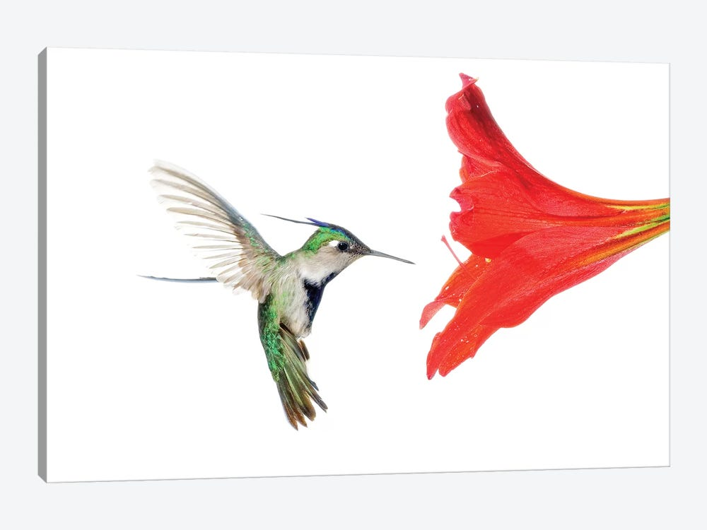 Plovercrest Hummingbird Feeding On Flower Nectar, Argentina by Agustin Esmoris 1-piece Canvas Art