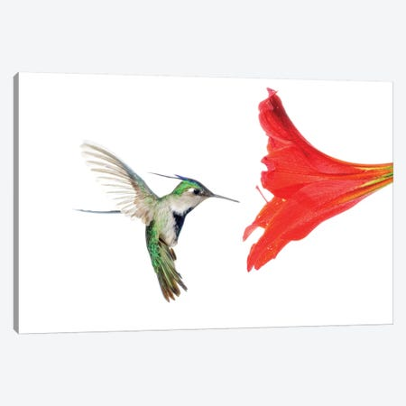 Plovercrest Hummingbird Feeding On Flower Nectar, Argentina Canvas Print #AES8} by Agustin Esmoris Art Print
