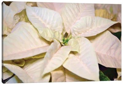 White Poinsettia Canvas Art Print