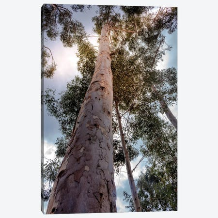 Under The Eucalyptus Canvas Print #AFK7} by Alison Frank Canvas Wall Art