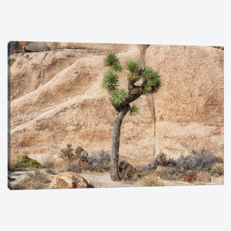 Joshua Tree With Rock Canvas Print #AFK81} by Alison Frank Canvas Artwork