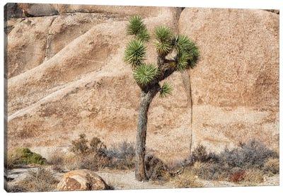 Joshua Tree With Rock Canvas Art Print