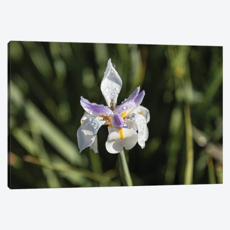 Wet And Wild Iris Canvas Print #AFK8} by Alison Frank Art Print