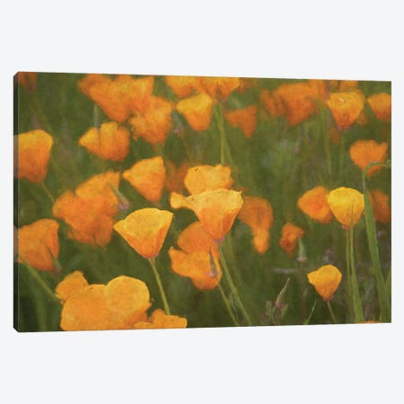 California Poppies Canvas Print #AFK93} by Alison Frank Canvas Print