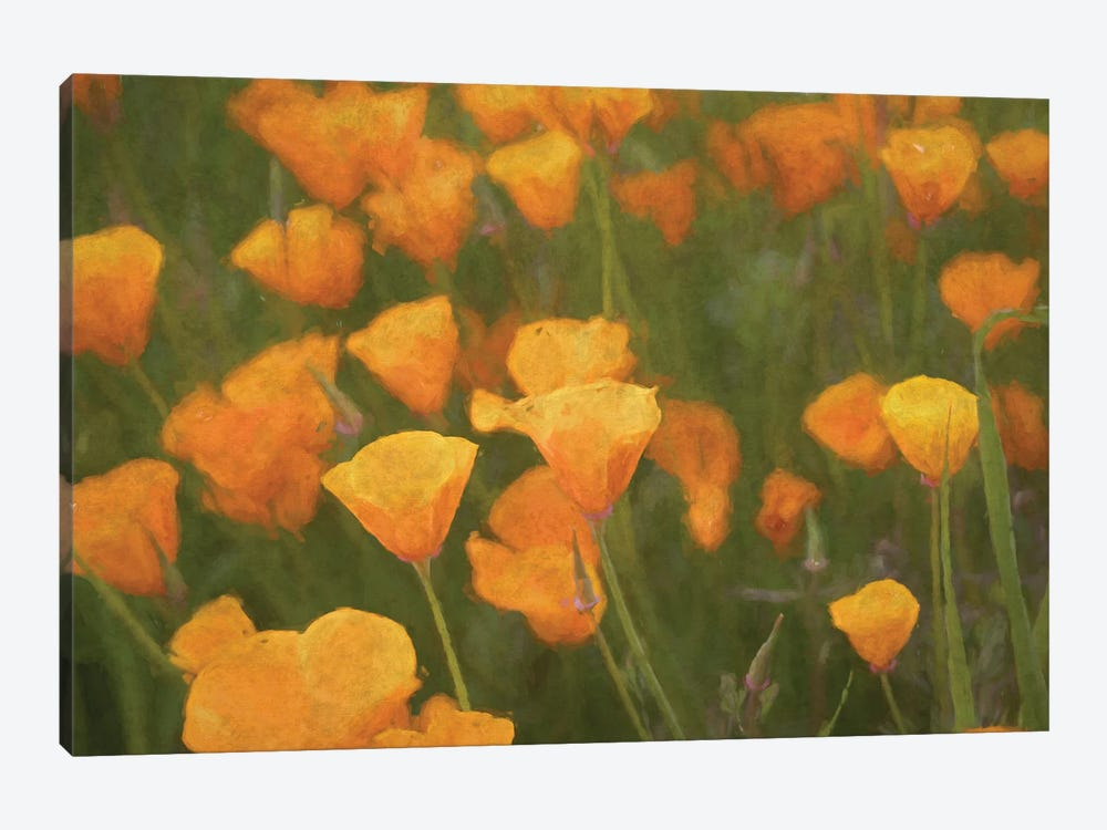 California Poppies by Alison Frank 1-piece Canvas Art Print